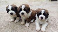 Berger Picard Puppies Photos