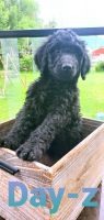 Bernedoodle Puppies for sale in Colorado Springs, CO, USA. price: NA