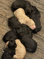 Bernedoodle Puppies for sale in Orleans, IN 47452, USA. price: NA