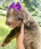Bernedoodle Puppies for sale in Metropolis, IL 62960, USA. price: NA