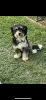 Bernedoodle Puppies for sale in Venice, Los Angeles, CA, USA. price: NA