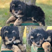 Bernedoodle Puppies for sale in Prior Lake, MN, USA. price: NA