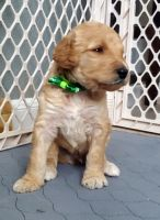 Bernedoodle Puppies for sale in BROOKSIDE VL, TX 77581, USA. price: NA