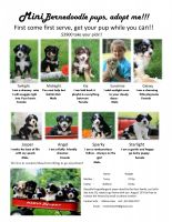 Bernedoodle Puppies for sale in Huntington, MA, USA. price: NA