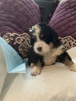 Bernedoodle Puppies for sale in Greensburg, PA 15601, USA. price: NA