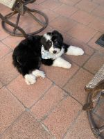 Bernedoodle Puppies for sale in Riverside-San Bernardino-Ontario, CA, CA, USA. price: NA