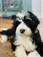 Bernedoodle Puppies for sale in Wilmington, NC, USA. price: NA