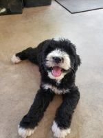 Bernedoodle Puppies for sale in Taylorsville, NC 28681, USA. price: NA