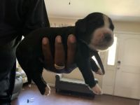 Bernedoodle Puppies for sale in Champaign, IL, USA. price: NA