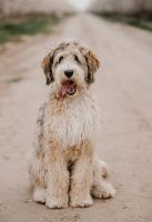 Bernedoodle Puppies for sale in Bakersfield, CA 93311, USA. price: NA
