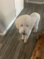 Bernedoodle Puppies for sale in West Covina, CA 91790, USA. price: NA