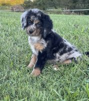 Bernedoodle Puppies for sale in Bergholz, OH 43908, USA. price: NA