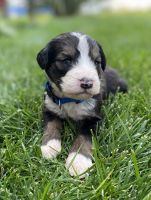 Bernedoodle Puppies for sale in Portland, OR, USA. price: NA