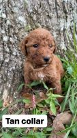 Bernedoodle Puppies for sale in Scottsboro, AL, USA. price: NA
