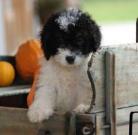 Bernedoodle Puppies for sale in Deep Ellum, Dallas, TX, USA. price: NA