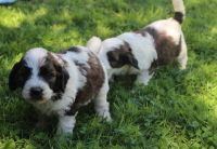 Bernedoodle Puppies for sale in Columbus, OH, USA. price: NA