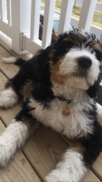Bernedoodle Puppies for sale in Ohio City, Cleveland, OH, USA. price: NA