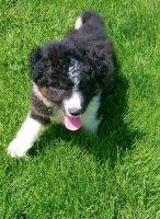 Bernedoodle Puppies for sale in Chicago, IL, USA. price: NA