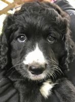 Bernedoodle Puppies for sale in Minneapolis, MN, USA. price: NA