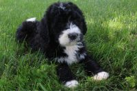 Bernedoodle Puppies for sale in Canton, OH, USA. price: NA