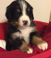 Bernedoodle Puppies for sale in Jacksonville, FL, USA. price: NA
