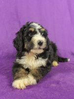 Bernedoodle Puppies for sale in IA-22, Riverside, IA 52327, USA. price: NA