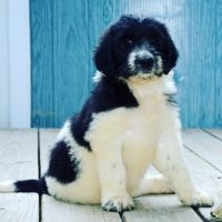 Bernedoodle Puppies for sale in Paintsville, KY, USA. price: NA