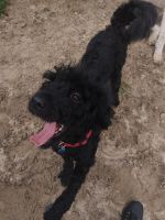 Bernedoodle Puppies for sale in Brooksville, FL 34601, USA. price: NA