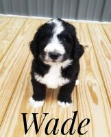 Bernedoodle Puppies for sale in Lancaster, MO 63548, USA. price: NA