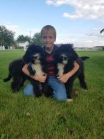 Bernedoodle Puppies for sale in Grabill, IN 46741, USA. price: NA