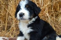Bernedoodle Puppies for sale in Troy, ID 83871, USA. price: NA