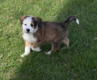 Bernedoodle Puppies for sale in 1618 IL-133, Arthur, IL 61911, USA. price: NA