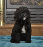 Bernedoodle Puppies for sale in Millersburg, OH 44654, USA. price: NA