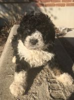 Bernedoodle Puppies for sale in Lawrenceburg, IN 47025, USA. price: NA