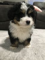 Bernedoodle Puppies for sale in Fredericksburg, OH 44627, USA. price: NA