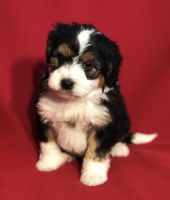 Bernedoodle Puppies for sale in Sugarcreek, OH 44681, USA. price: NA