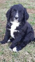 Bernedoodle Puppies for sale in Nashville, TN, USA. price: NA