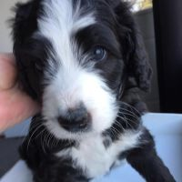 Bernedoodle Puppies for sale in Springfield, IL, USA. price: NA