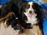Bernedoodle Puppies for sale in Menifee, CA, USA. price: NA