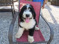 Bernedoodle Puppies for sale in Decatur County, IA, USA. price: NA