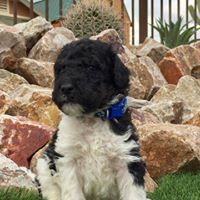 Bernedoodle Puppies for sale in Apache Junction, AZ, USA. price: NA