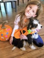 Bernedoodle Puppies for sale in Bellville, OH, USA. price: NA