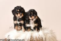 Bernedoodle Puppies for sale in Denver, CO, USA. price: NA