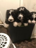 Bernedoodle Puppies for sale in Merrillville, IN, USA. price: NA