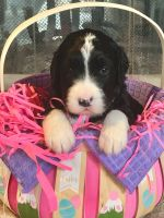 Bernedoodle Puppies for sale in Rochester, NY, USA. price: NA