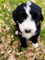 Bernedoodle Puppies for sale in 130 Lincoln Ave, Lester Prairie, MN 55354, USA. price: NA