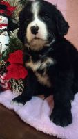 Bernedoodle Puppies for sale in Muskegon, MI, USA. price: NA