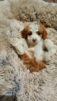 Bernedoodle Puppies for sale in Abingdon, VA 24211, USA. price: NA