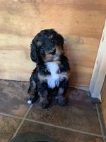 Bernedoodle Puppies for sale in Dalton, MA, USA. price: NA