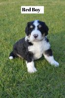 Bernedoodle Puppies for sale in Shelley, ID 83274, USA. price: NA